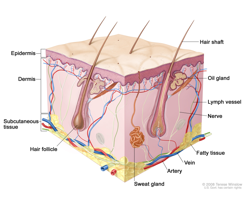 Skin Anatomy Dermatology Of Virginia